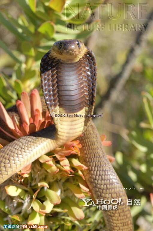 王者气派——眼镜蛇
